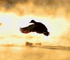 Picture of Duck in Sunlight