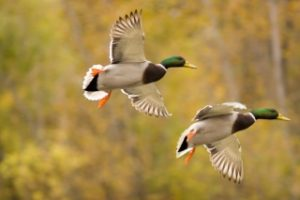 Picture of Ducks Flying