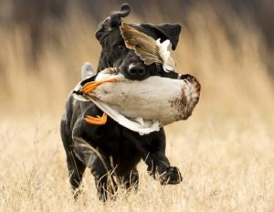 Picture of Duck Hunting Dog 2