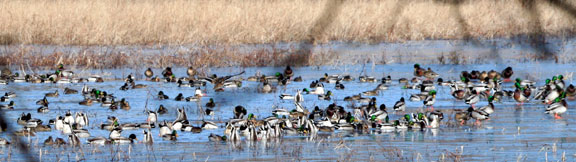 Picture of Flock of Ducks