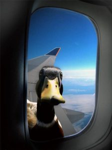Picture of Duck on a Plane